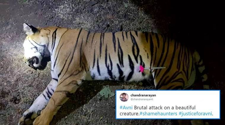 avni, avni the man eating tiger, avni man eater killed, avni man eater tiger killed, T1 shot dead, tiger shot dead, avni tiger shot dead, maharashtra, Mumbai, animal killed, indian express, indian express news