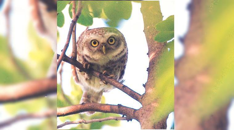 barn owls, rodents, down in jungleland, barn owl is a creature that all rodents fear, avian creatures, indian express, indian express news