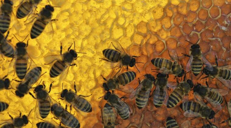 Beekeeping, beekeeping programme, central government programme for beekeeping, Pune news, indian express