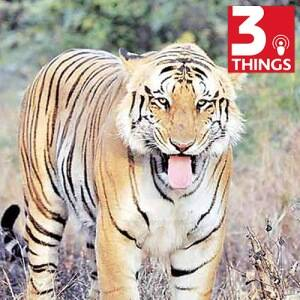 Why it's sometimes necessary to kill one tiger to save therest