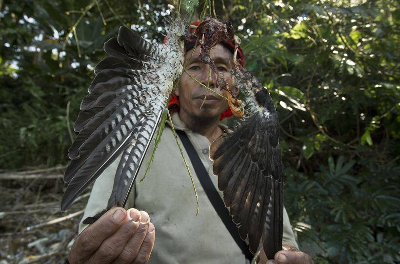 From predators to conservators: Journey of Amur falcons in Nagaland