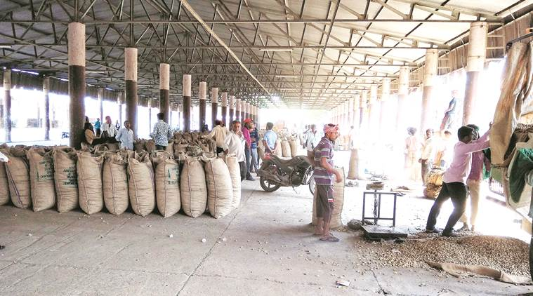 Groundnut farmers, groundnut crop, government procuring groundnut,irrigation to groundnut crop,Gujarat State Civil Supplies Corporation Limited, Latest news Indian Express
