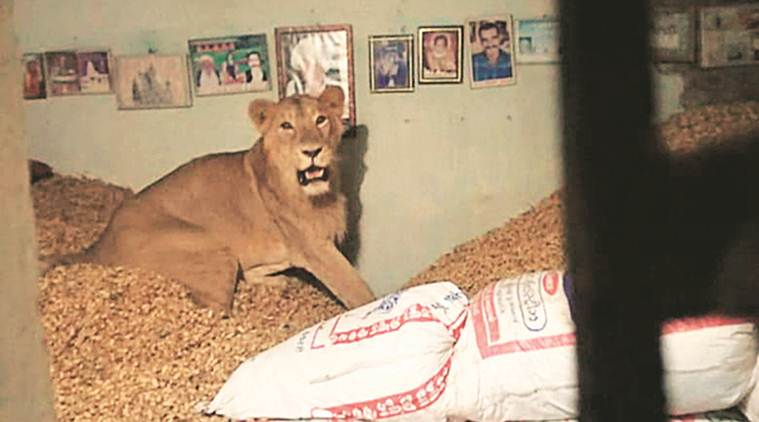 Lion enters farmer's home in Gujarat