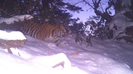 Mishmi Tiger, Wildlife Institute of India
