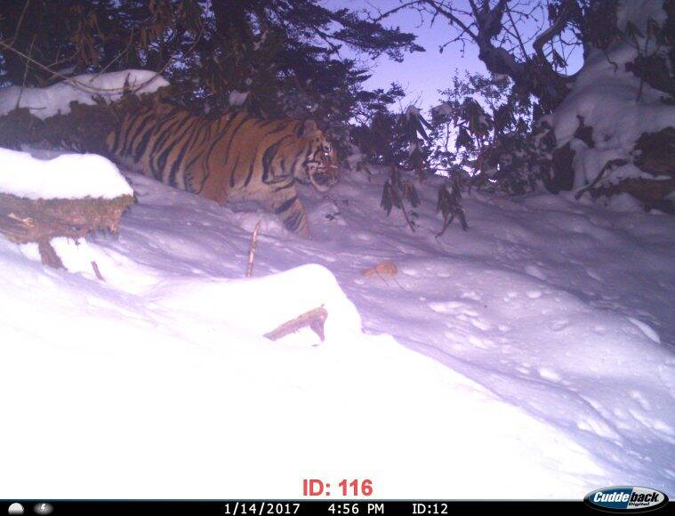 Stripes in the snow: At 3,630 meters, India's only snow tigers are burning bright