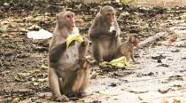 Elderly woman killed in monkey attack in Agra, second death in as manydays