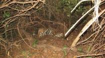 Tiger brought to Odisha from Madhya Pradesh in pioneer inter-state transfer project founddead