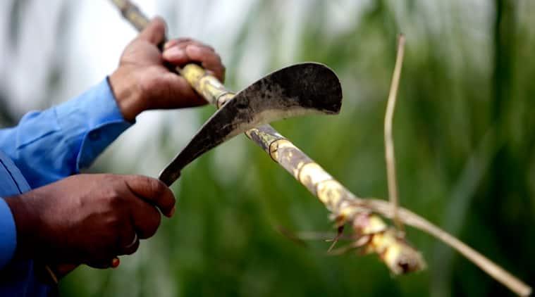 sugarcane arrears UP, sugarcane arrears maharashtra, sugarcane farmers, sugarcane dues, india news, yogi adityanath, devendra fadnavis, latest news, indian express
