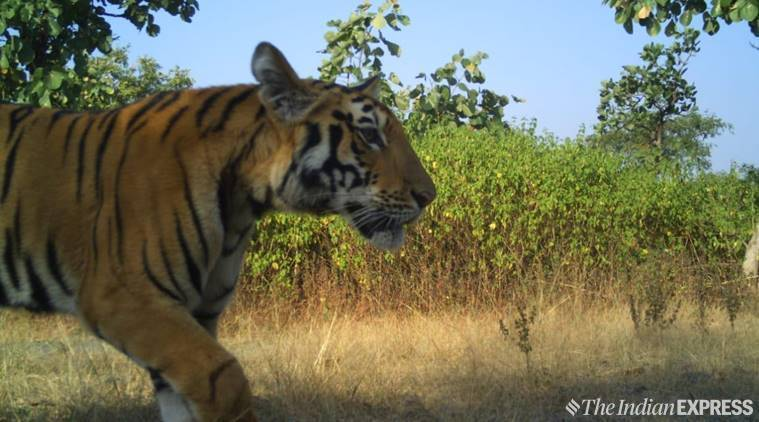 Cubs of Avni, Tigress Avni, Tigress avni cubs, Tigress avni cubs sighter, tigress avni cubs photo, Yavatmal tigress, India News, Indian Express