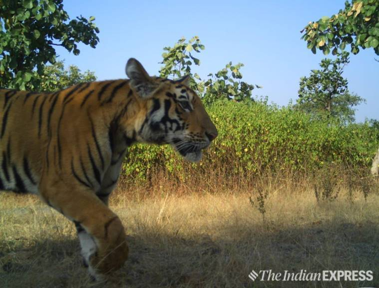 Tigress Avni, Tigress avni cubs, Tigress avni cubs sighter, tigress avni cubs photo, Yavatmal tigress, India News, Indian Express
