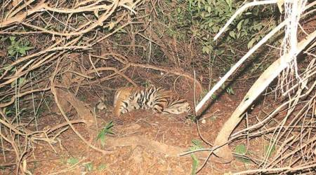 Madhya Pradesh tiger found dead in Odisha reserve, relocation project onhold