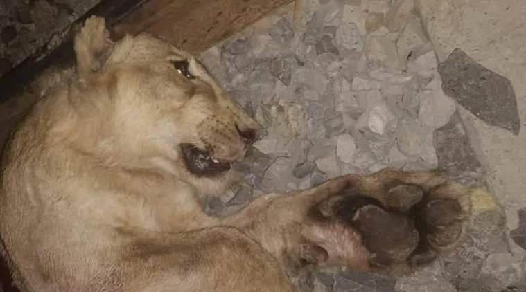 Rajkot: Lion caught in trap on agricultural farm dies