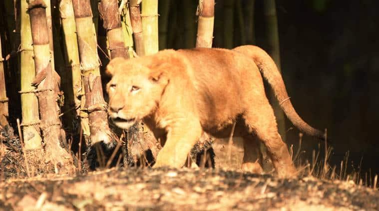 Tripura's best kept secret: three lion cubs born in June