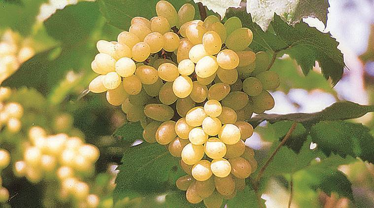 For the first time, grapes to be exported to Australia