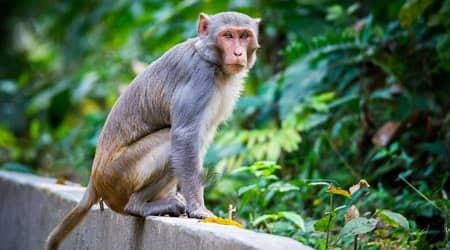 Chandigarh city news, Chandigarh man keeps monkey captive, Chandigarh monkey tattoo artist, chandigarh monkeys
