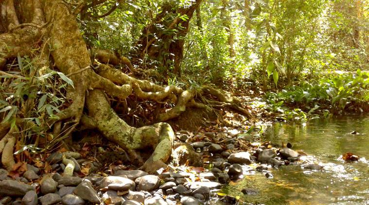 ancient rainforest in Wayanad, Kerala, forest begets stories, forest sustains, Paniya people, ancient sustainable forests, Old Mother Forest, indian express, indian express news