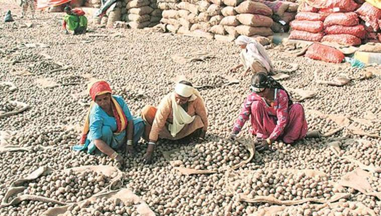 Why Punjab farmers grapple with potato glut every alternate year