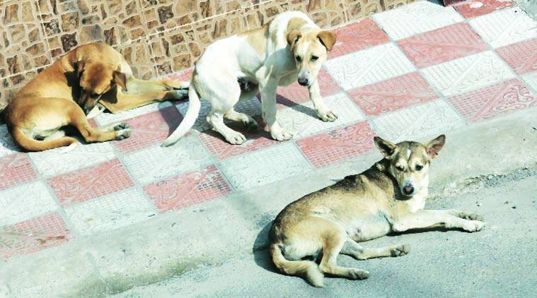 Imphal, stray dogs, stray dogs attack, IMC, PFA manipur, indian express, latest news