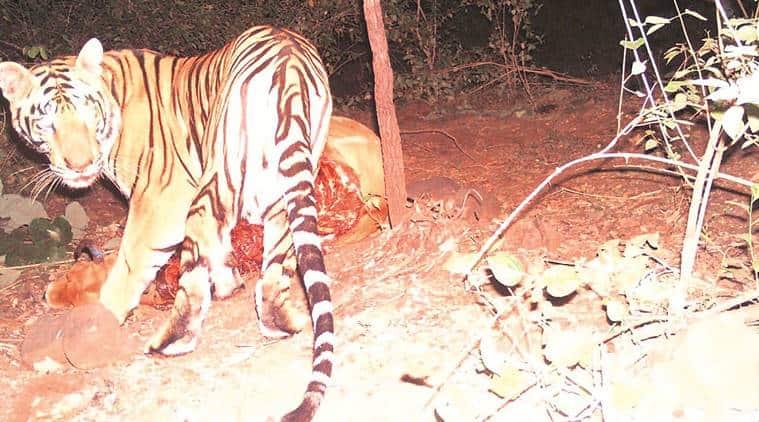 Chandrapur tiger that travelled 500 km to Madhya Pradesh caught