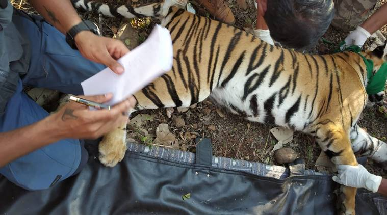 Hunted Avni's cub captured, sent to Pench Tiger Reserve for rehabilitation