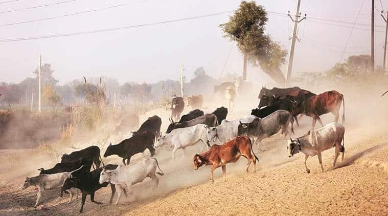 Panchkula, Panchkula stray cattle, Panchkula news, Haryana Gau Seva Commission