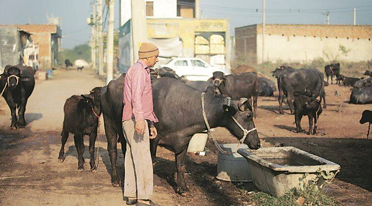 Land meant for relocation of Delhi's dairy farmers has a problem: Homes are coming up there