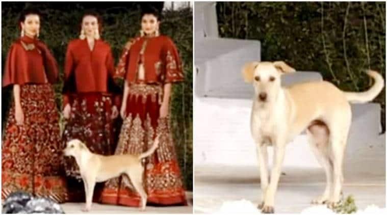 Rohit Bal, Sidharth Malhotra, Diana Penty, dog walks ramp, street dog crashes fashion show mumbai,