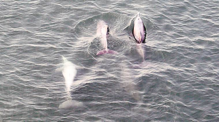 dolphins, dolphins in bandra, humpback dolphins, dolphins in india, indian express