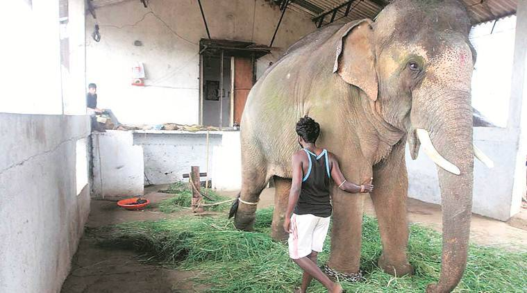 captive elephant survery, first captive elephant surver, kerala captive elephants, assam elephants, MoEF elephants survery, india news, indian express, latest news