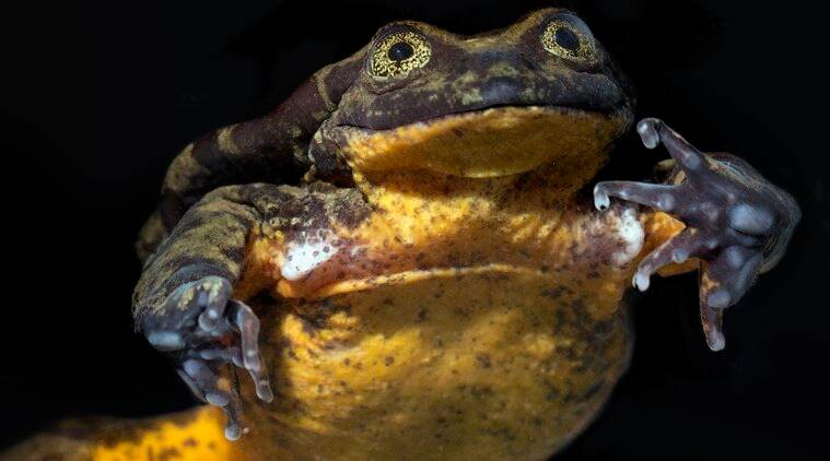 Romeo the Frog finds his Juliet. Their courtship may save a species.