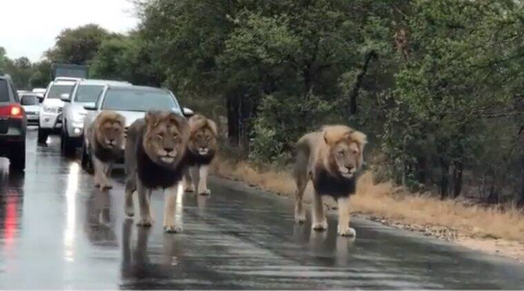 lions, pride of lions sightings, lion sighting kruger park, lions stop traffic, viral videos, lion videos, indian express