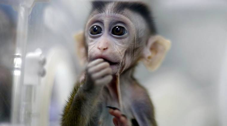 Chinese scientists successfully clone five gene-edited monkeys
