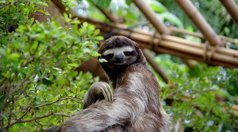 Where sloths find these branches, their family trees expand