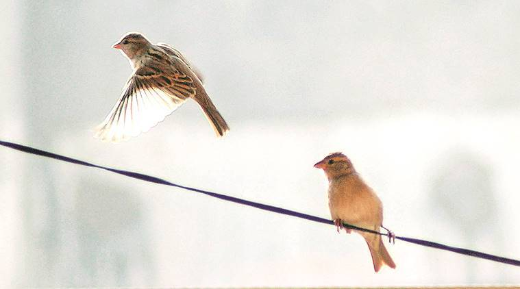 sparrows research centres, Haryana sparrows research, Sparrows centres Haryana, Aravali hills, Shivalik hills, Indian express, latest news, chandigarh, latest news