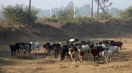 punjab and haryana high court, Anti-Cow Slaughter Act-2015, cow vigilantism, cow slaughter