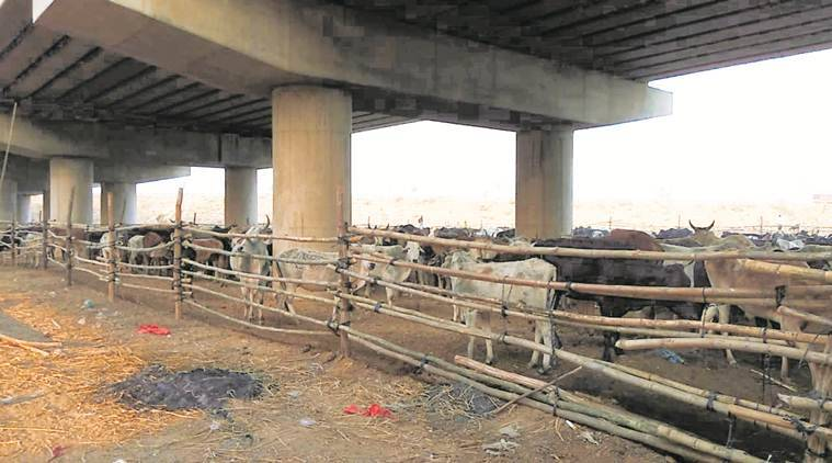 Uttar Pradesh's animal farm: The cow count