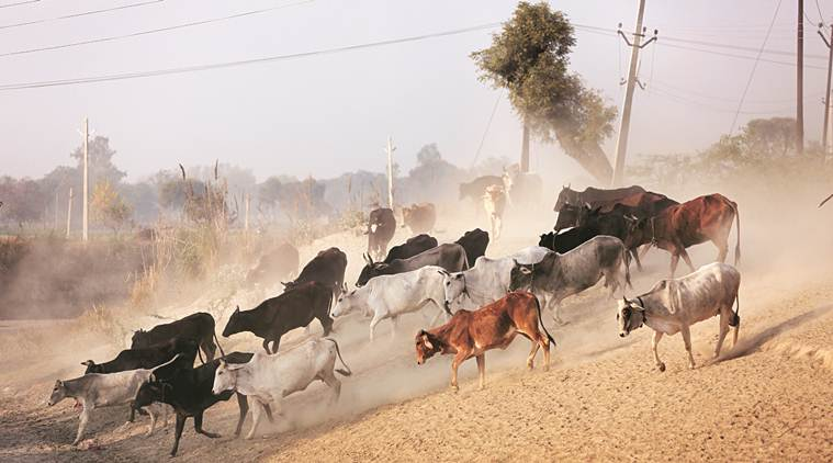 At this dairy in UP, stray cattle are no longer stray, farmers fighting hordes