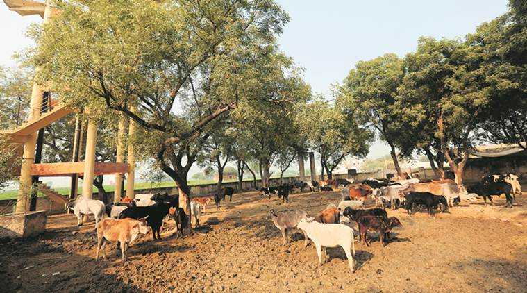 UP farmers desperate to keep stray cattle away from crops, govt struggles to keep numbers in check