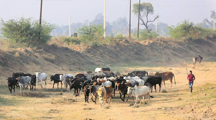 Uttar Pradesh: 8 held, 96 bulls seized during raids in two Gonda villages