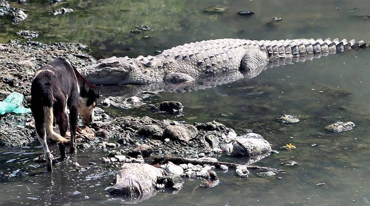 Crocodylus palustris, a crocodile species that is being removed from the Narmada