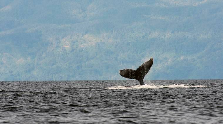 The Whale Album: Why do humpbacks sing?