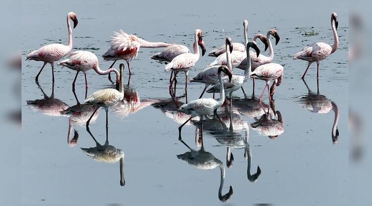 flamingo, Mumbai, wildlife, environment