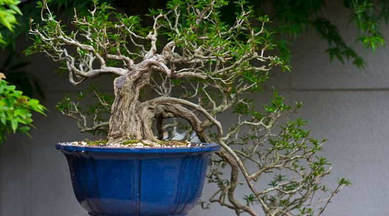 'Bonsai are like our children': Couple pleads for return of stolen trees