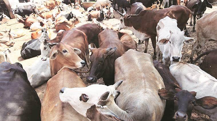 chandigarh news, chandigarh municipal corporation, stray cattle menace, indian express