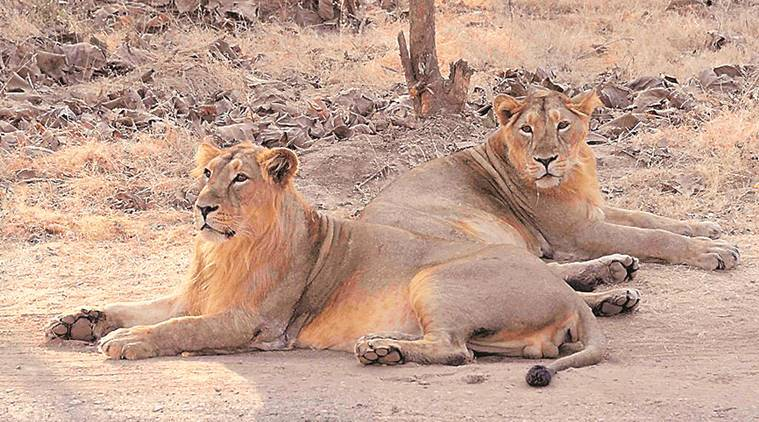 Canine distemper virus outbreak: All 36 quarantined lions fit, ready to be released into wild