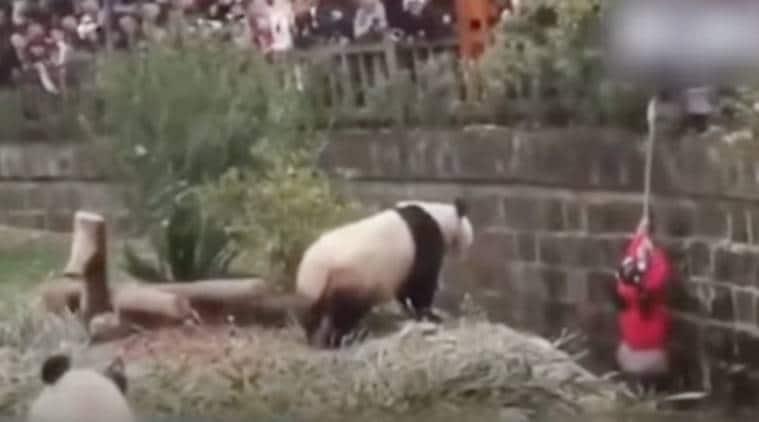 panda, girl falls in panda enclosure, viral video girl panda, panda enclosure, China, Girl China falls panda enclosure,