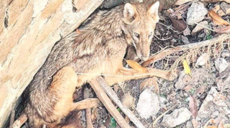 Golden jackal rescued from residential area in Navi Mumbai
