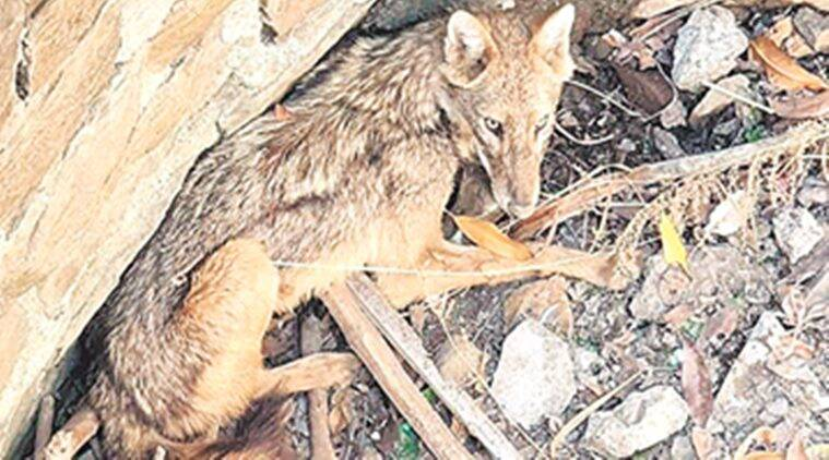 mumbai, golden jackal rescued, golden jackal rescued in mumbai, forest department, wildlife, indian express news