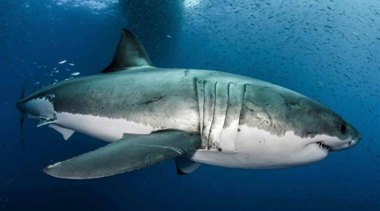 Explained: How Genetic Structure Of Great White Shark Throws Up Clues For Fighting Cancer
