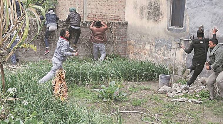 Fear grips Jalandhar village as leopard attacks 6 amid dramatic chase to corner it